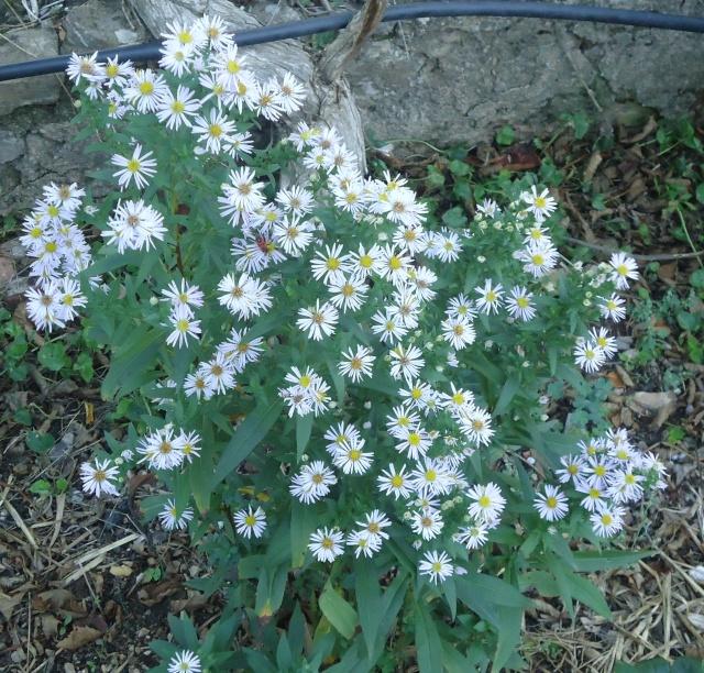 Aster : floraison 2014 - Page 2 00216