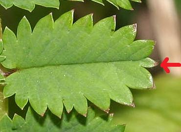 petite pimprenelle / Poterium sanguisorba (ex Sanguisorba minor) Pimpre10