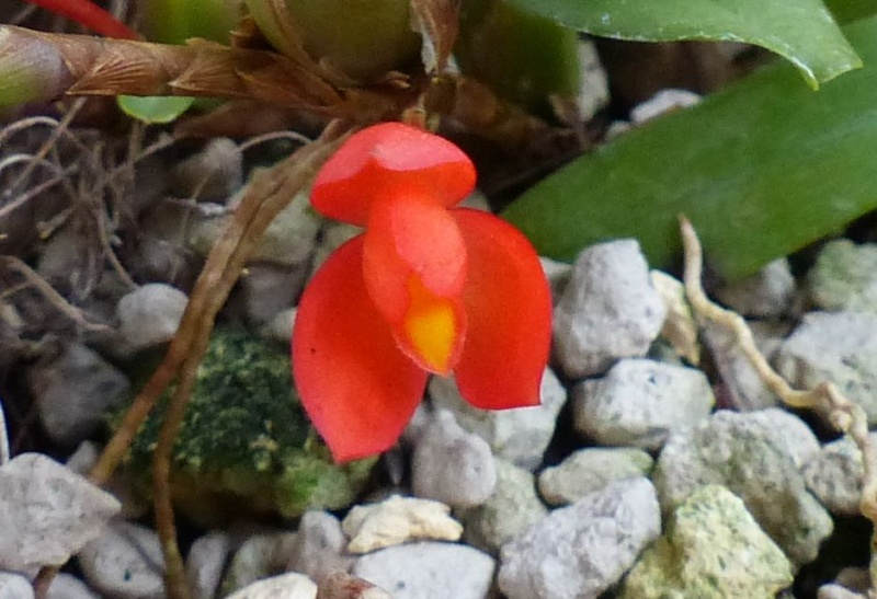 Miniatur-Orchideen 2. Teil 001111