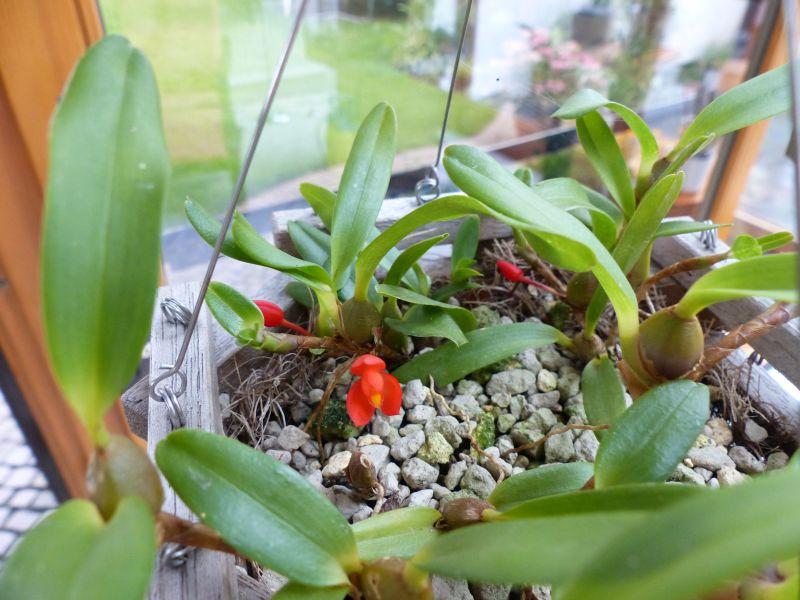 Miniatur-Orchideen 2. Teil 001211