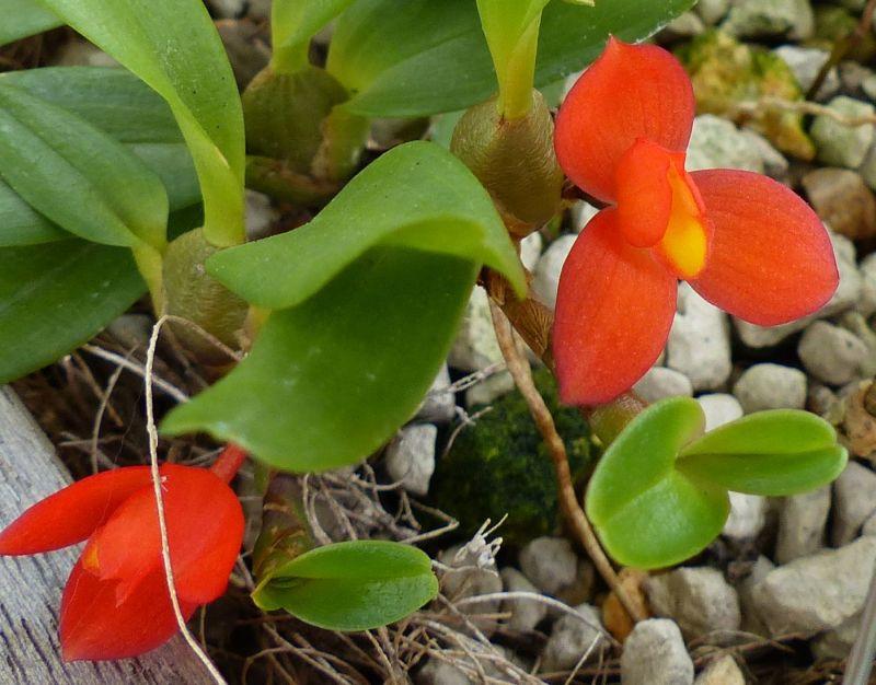 Miniatur-Orchideen 2. Teil 00214