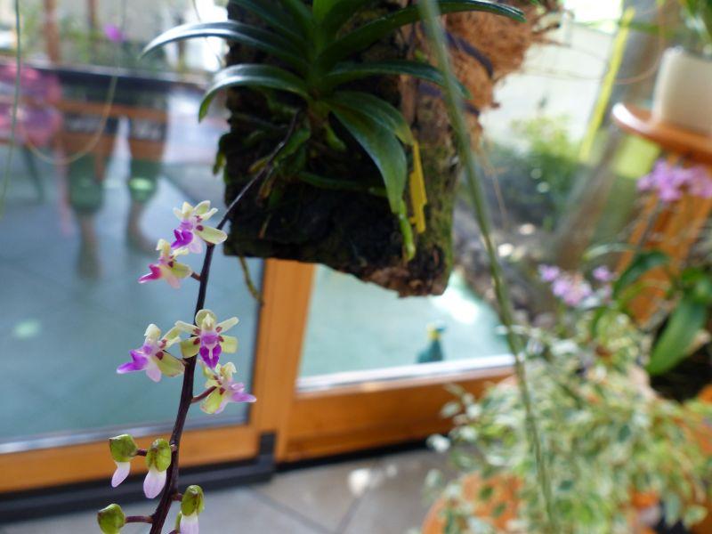 Miniatur- Orchideen - Seite 22 006013