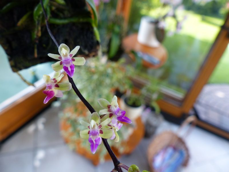 Miniatur- Orchideen - Seite 22 007011