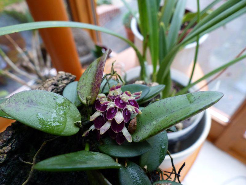Miniatur-Orchideen 2. Teil - Seite 2 0115