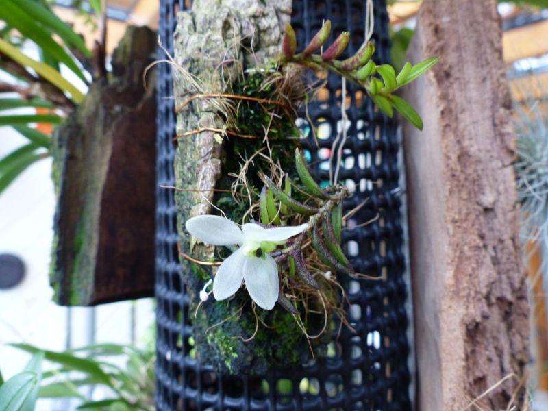 Miniatur-Orchideen 2. Teil - Seite 2 013012