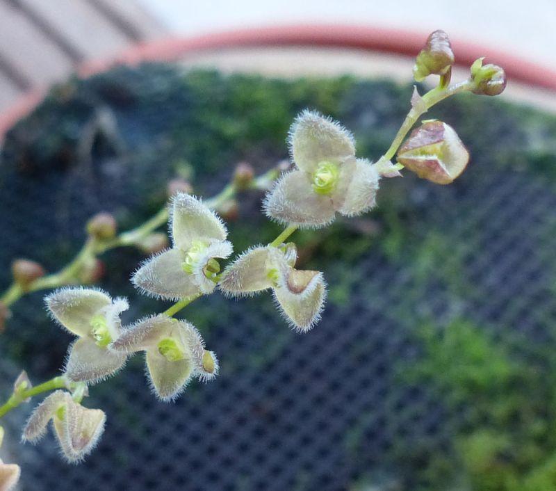 Miniatur- Orchideen - Seite 21 0140011