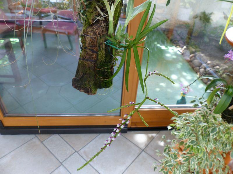 Miniatur- Orchideen - Seite 22 015011