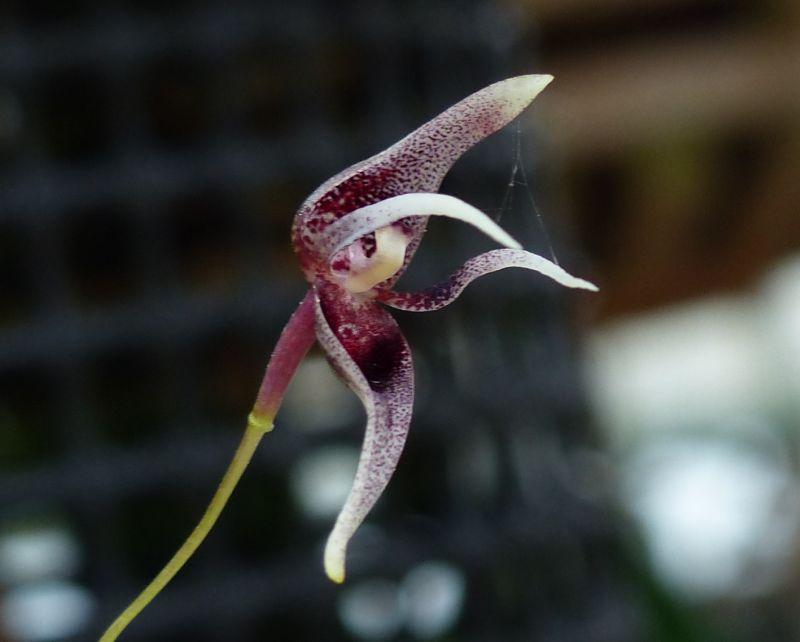Miniatur- Orchideen - Seite 21 0190011