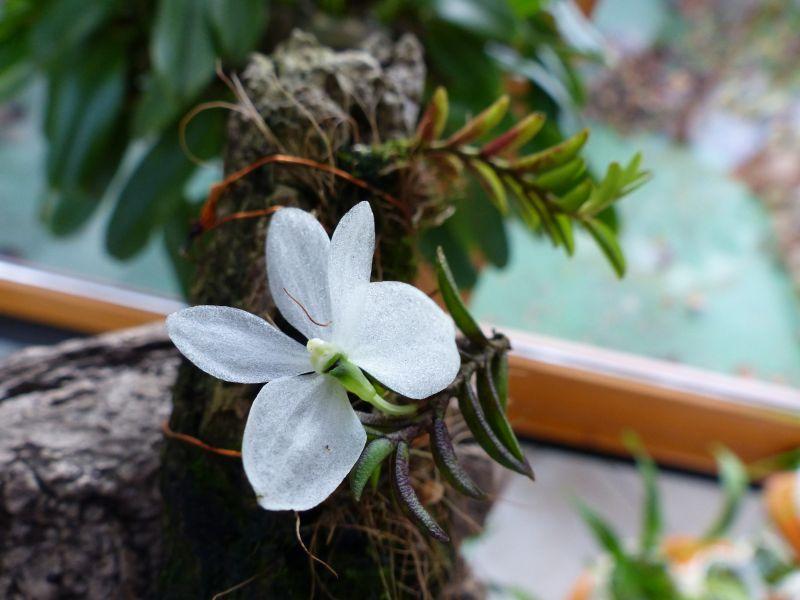 Miniatur-Orchideen 2. Teil - Seite 3 0714