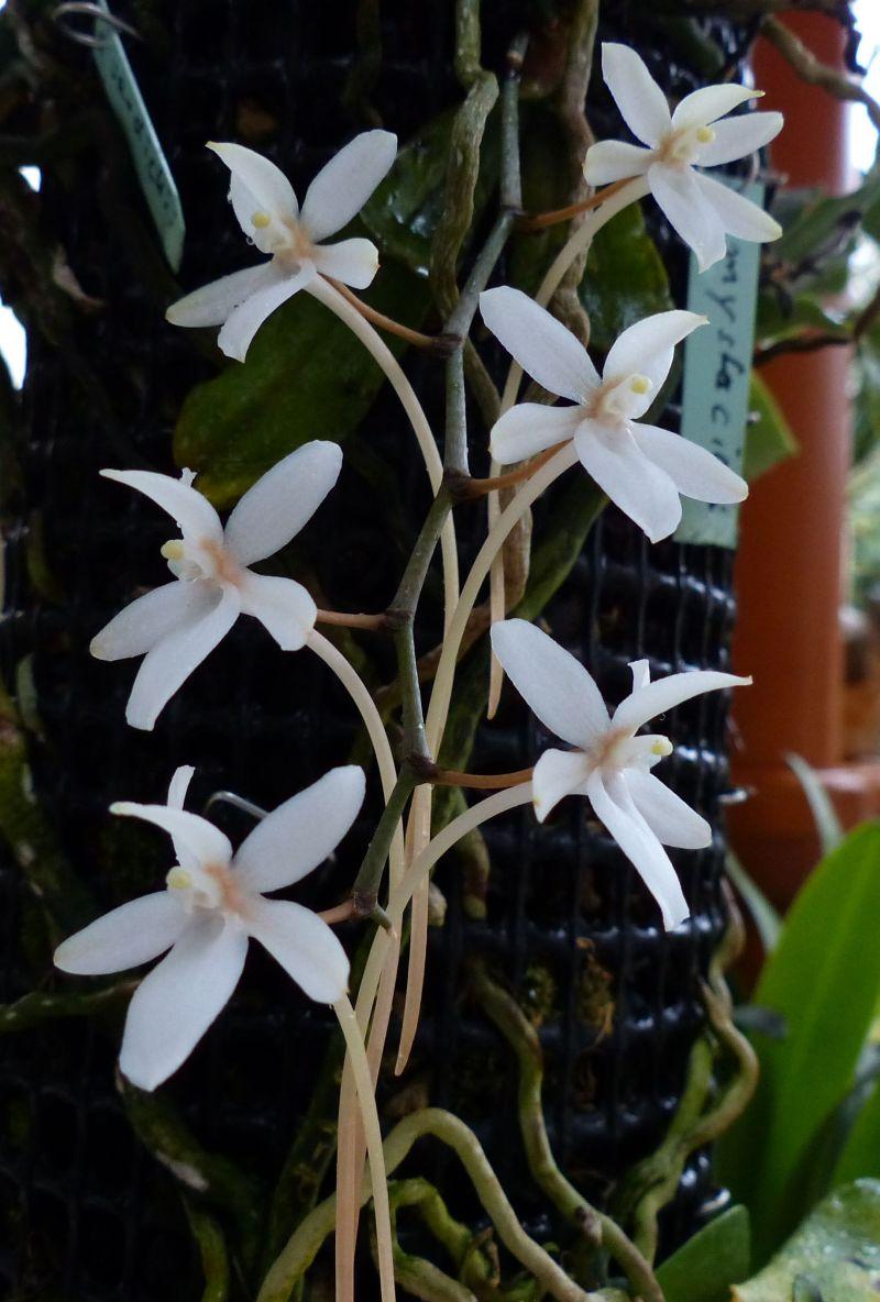 Miniatur-Orchideen 2. Teil - Seite 3 1113