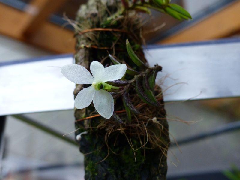 Miniatur-Orchideen 2. Teil - Seite 2 Cerato11