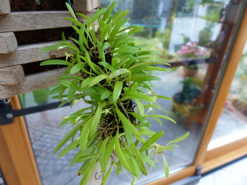 Miniatur-Orchideen 2. Teil Pleuro10