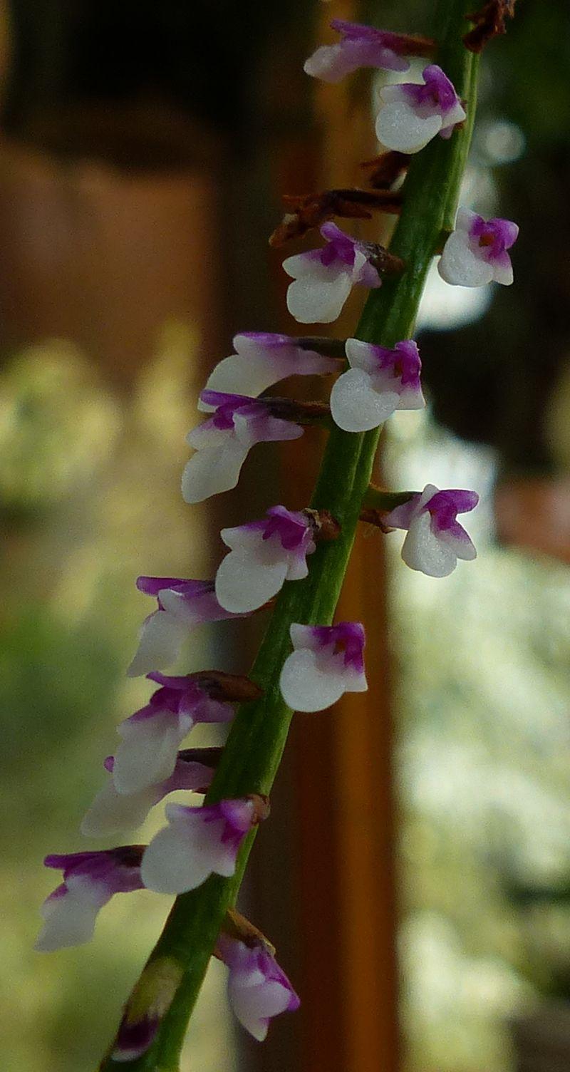 Miniatur- Orchideen - Seite 23 Schoen13