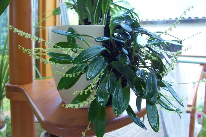 Miniatur- Orchideen - Seite 6 Stelis10