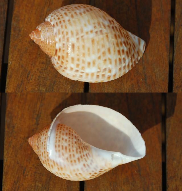 Tonna perdix  (Linnaeus, 1758) Ph210