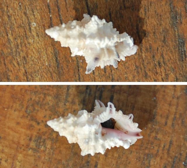 Spinidrupa euracantha - (A. Adams, 1853) Ph410