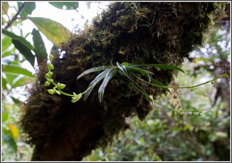 angraecum dupontii , orchidée endémique . Dupont11