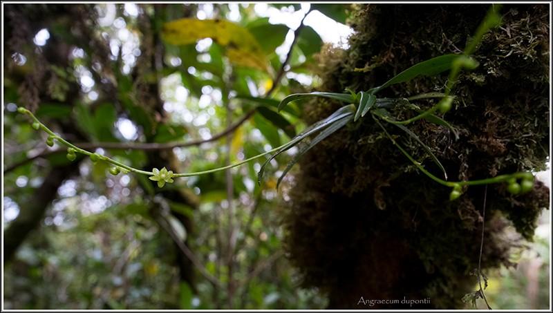 angraecum dupontii , orchidée endémique . Dupont12
