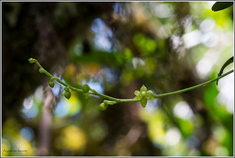 angraecum dupontii , orchidée endémique . Dupont17