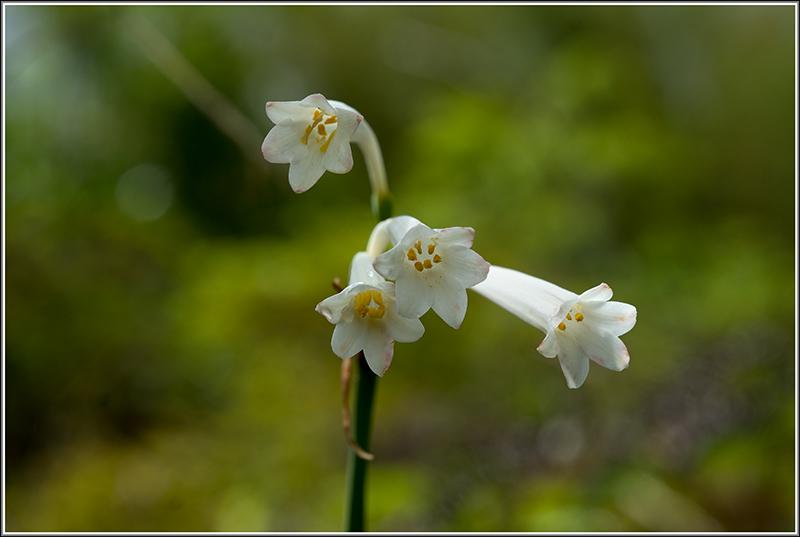 angraecum dupontii , orchidée endémique . Fleur810
