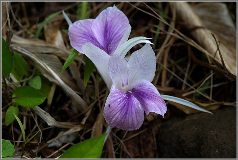 angraecum dupontii , orchidée endémique . Fleur811