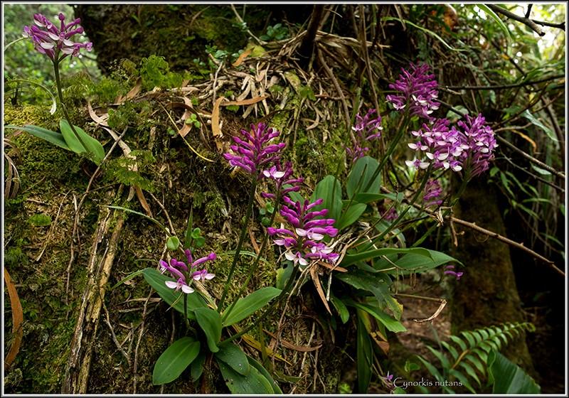cynorkis nutans et angraecum tenellum Nutans12