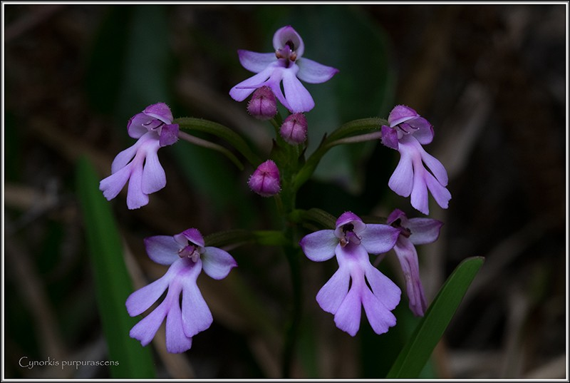Cynorkis purpurascens Purpur10