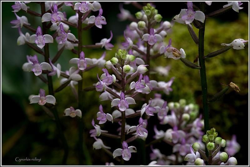 cynorkis nutans et angraecum tenellum Ridley12