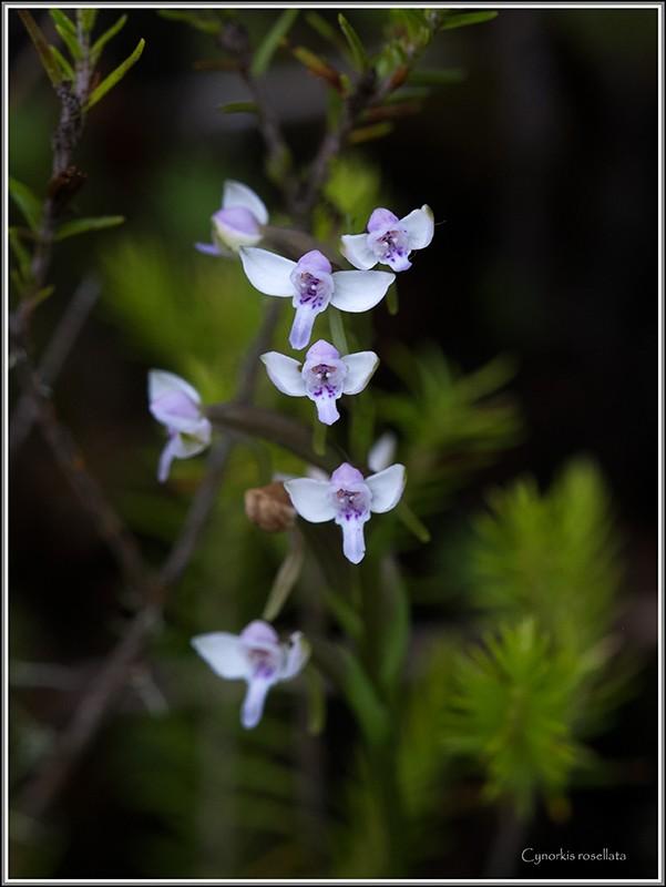 angraecum dupontii , orchidée endémique . Rosell10
