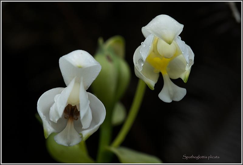 angraecum dupontii , orchidée endémique . Spatho11