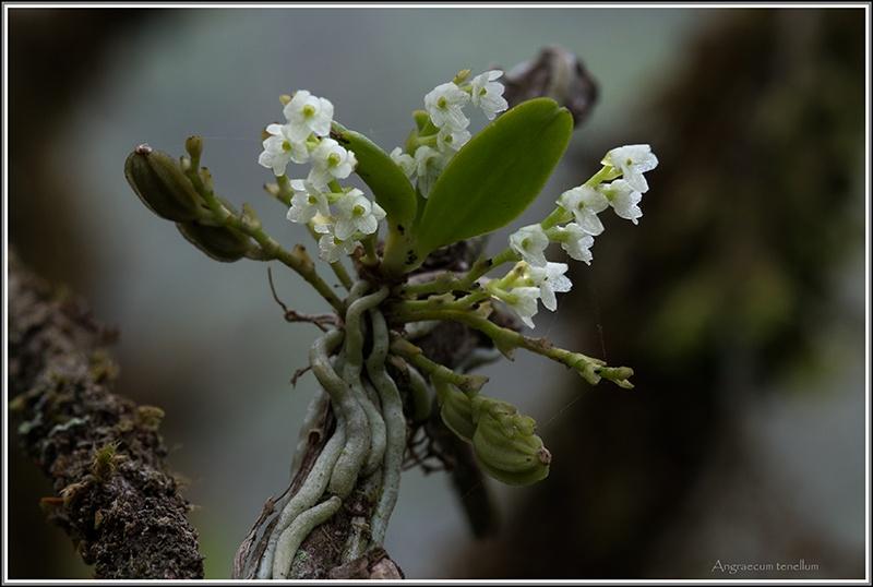 cynorkis nutans et angraecum tenellum Tenell10