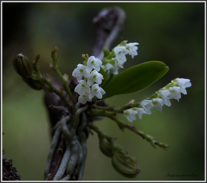 cynorkis nutans et angraecum tenellum Tenell12