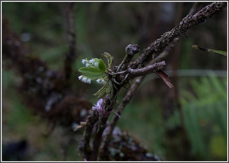 cynorkis nutans et angraecum tenellum Tenell14