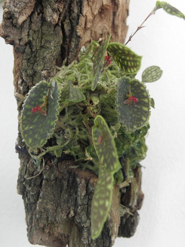 Miniatur-Orchideen 2. Teil Lepant12