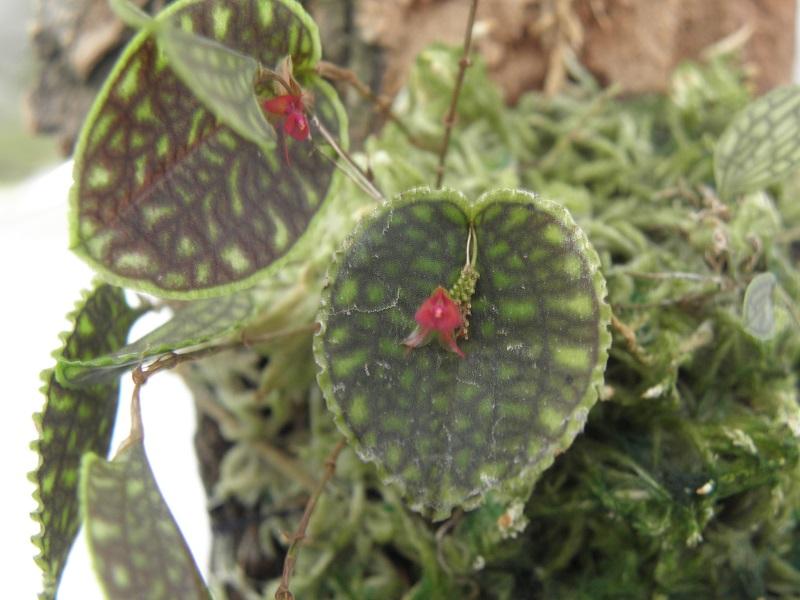 Miniatur-Orchideen 2. Teil Lepant13