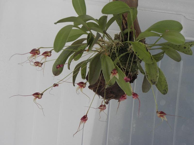 Miniatur-Orchideen 2. Teil - Seite 3 Masd_n10