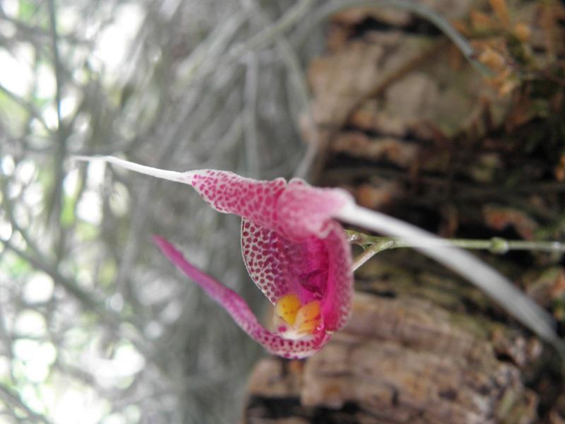 Miniatur-Orchideen 2. Teil P8230110