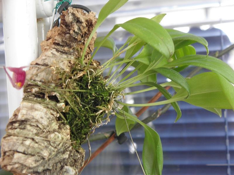Miniatur-Orchideen 2. Teil P8230111