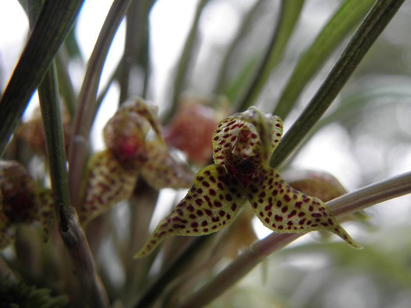 Miniatur-Orchideen 2. Teil - Seite 2 P8260111