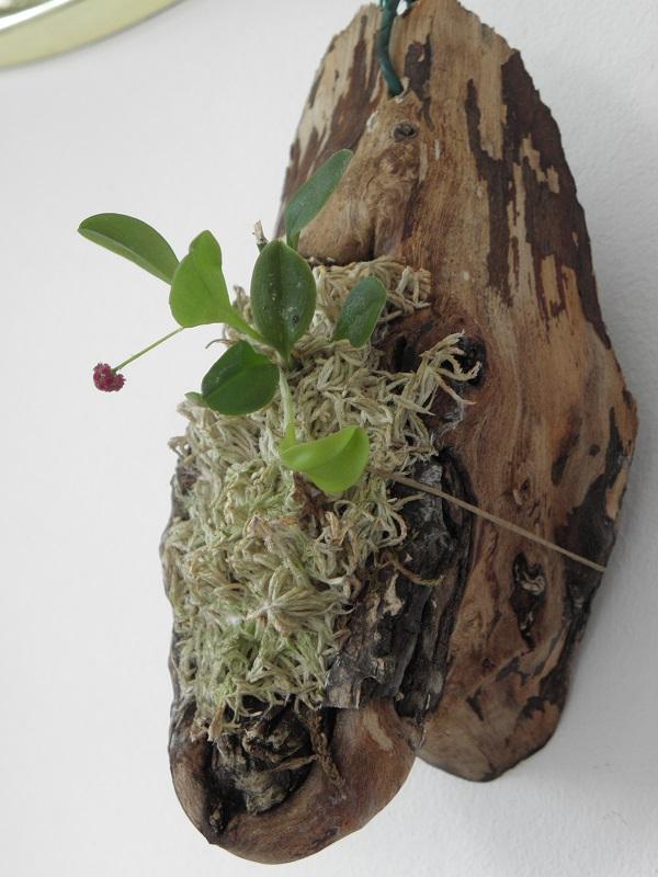 Miniatur- Orchideen - Seite 22 Platys14