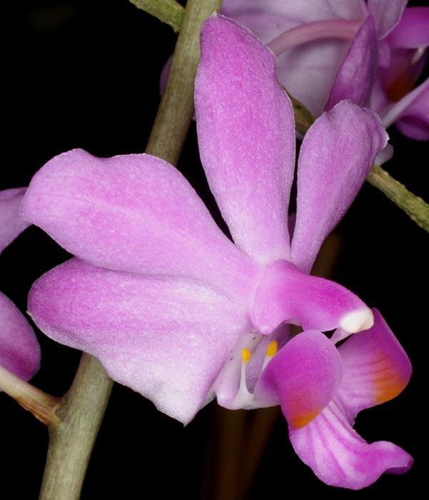 Doritis ubonensis Phalae10