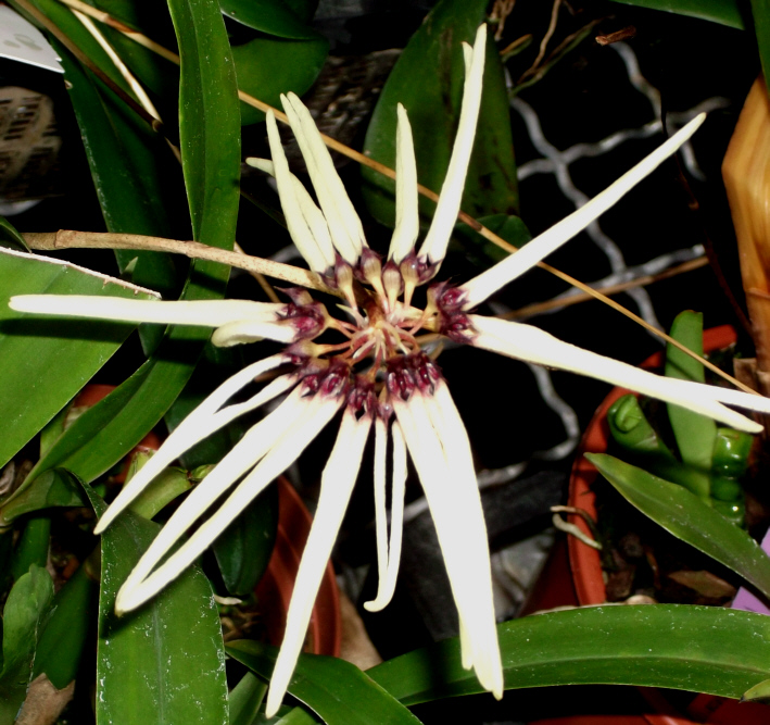 Bulbophyllum makoyanum Bulbop10