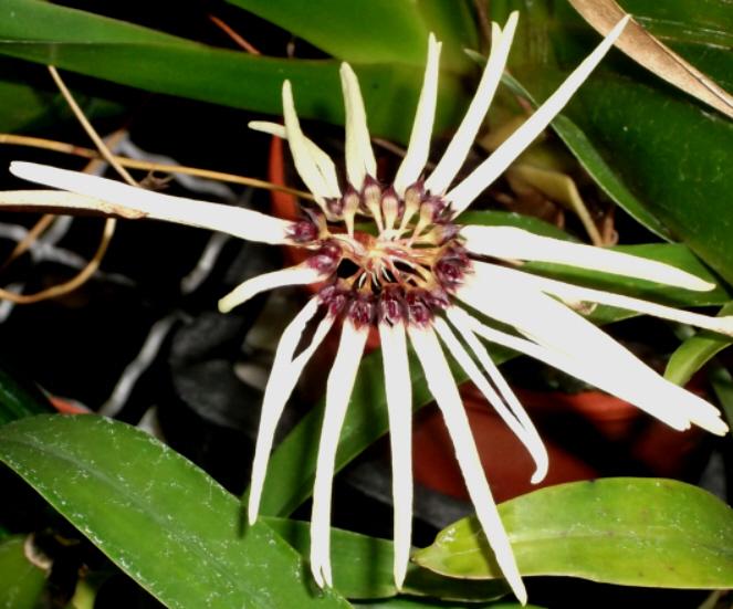 Bulbophyllum makoyanum Bulbop11