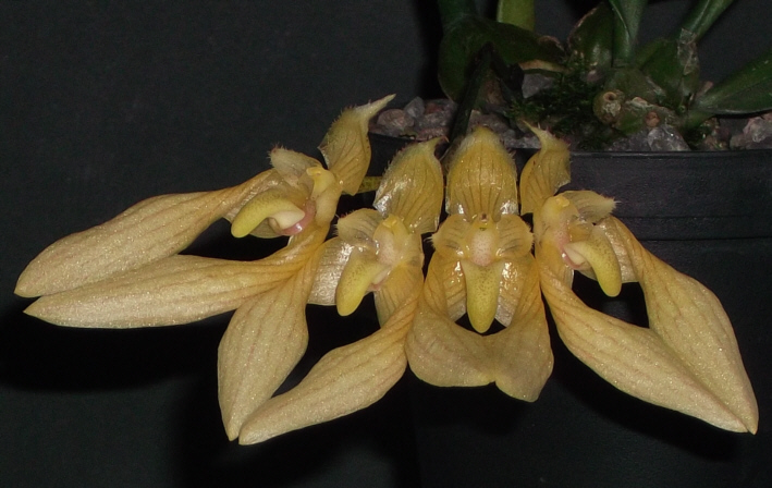 Bulbophyllum annandalei Bulbop13