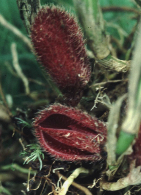 Myoxanthus lappiformis Myoxan10