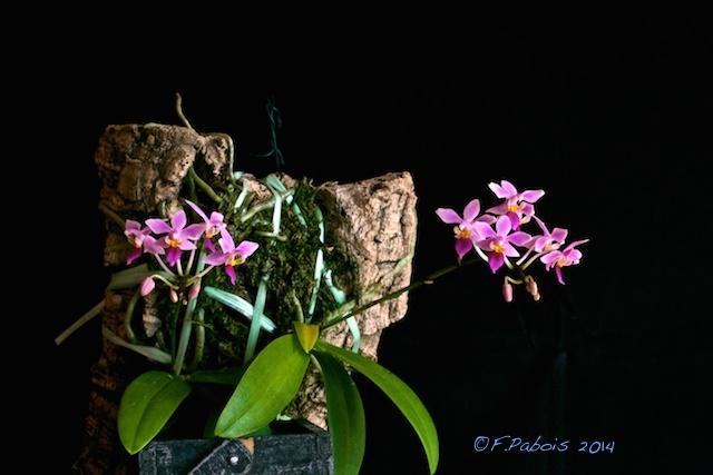 Phalaenopsis equestris Equest11