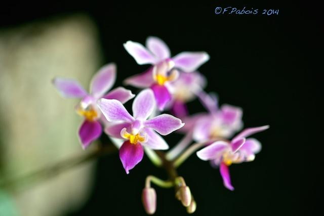 Phalaenopsis equestris Equest12