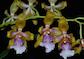 Odontoglossum, Oncidium, Caucaea et Psychopsis