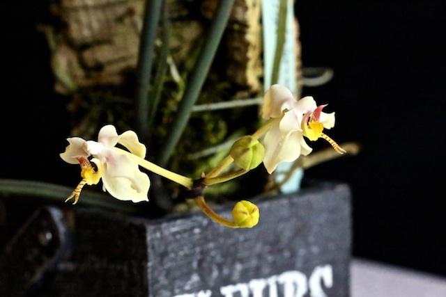 Paraphalaenopsis serpentilingua Paraph10
