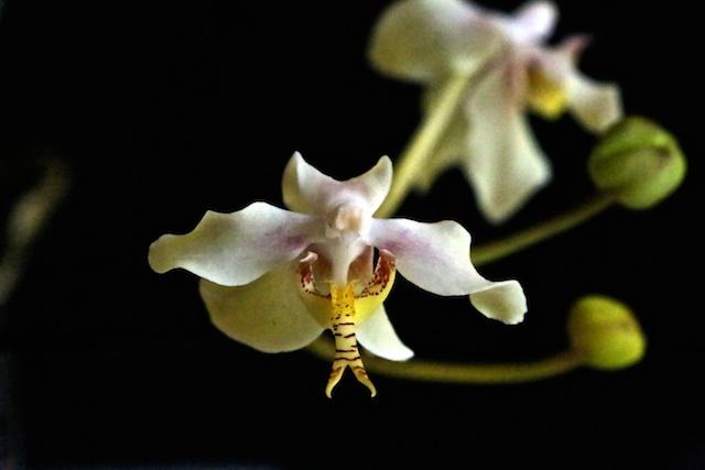 Paraphalaenopsis serpentilingua Paraph13